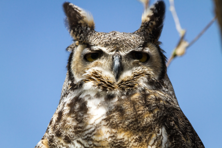 Great horned owl looking down photo