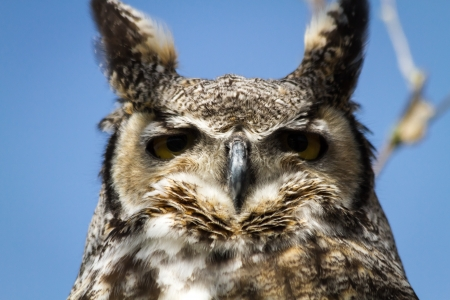 Close up of a great horned owl face photo