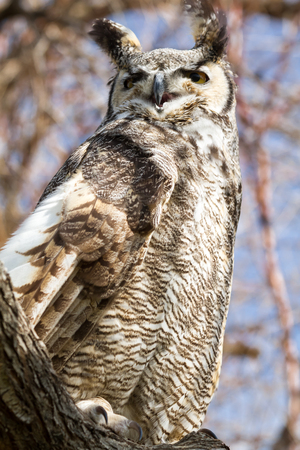 Side view of a great horn owl sitting in a tree photo