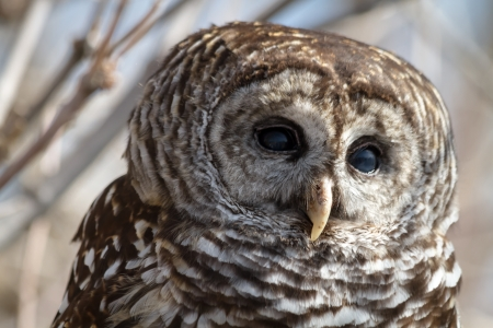 Close up of Barred Owl sitting in a tree photo
