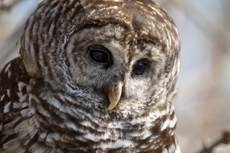 Close up of Barred Owl eyes and beak looking down photo