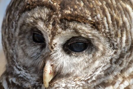 Close up of Barred Owl eyes and beak photo