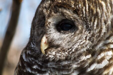 barred: Profile shot of Barred Owl beak and eye Stock Photo