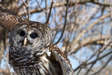 barred: Barred Owl spreading wings