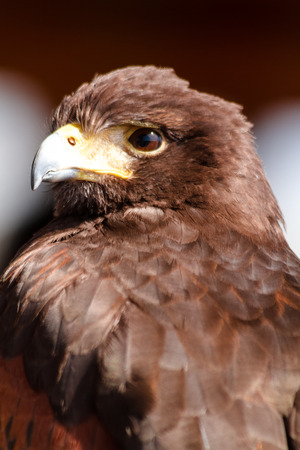 Close up of a Harris Hawk sitting in a tree photo