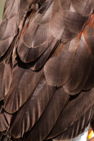 Plumage of a Harris Hawk wing photo