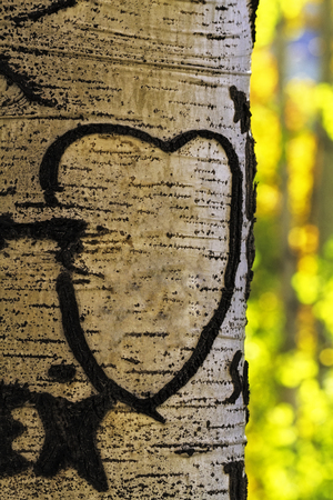 bark carving: Aspen tree in forest on fall afternoon with heart carved in trunk