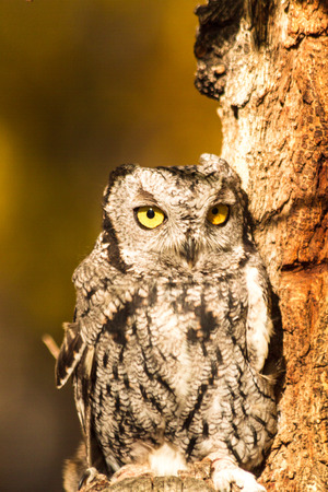 Tiny Screech Owl perched in tree in early morning sunlight with fall colors in background photo
