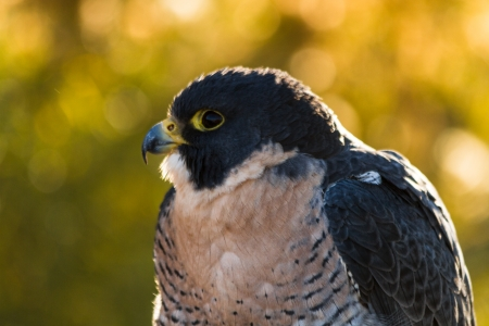 falco peregrinus: Close up of head of Peregrine Falcon Stock Photo