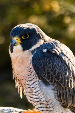 falco peregrinus: Close up of Peregrine Falcon in early morning sun Stock Photo