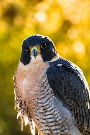 falco peregrinus: Close up of head of Peregrine Falcon with fall colors in background and early morning sun Stock Photo