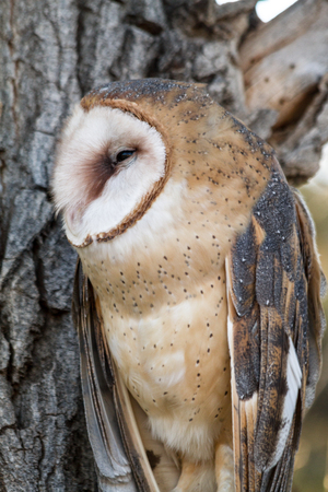 Profile of Barn Owl sitting in tree photo