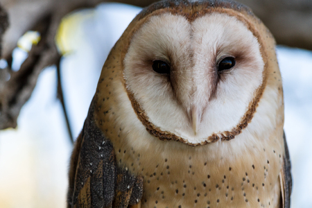 Close up of Common Barn Owl sitting in tree