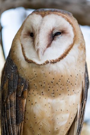 eyes closing: Large Barn Owl sitting in tree with eyes closing Stock Photo