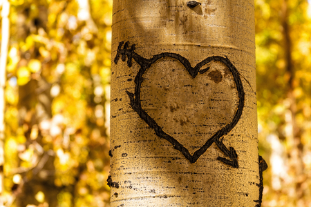 Hand carved heart in Aspen tree trunk standing in Aspen tree forest Imagens