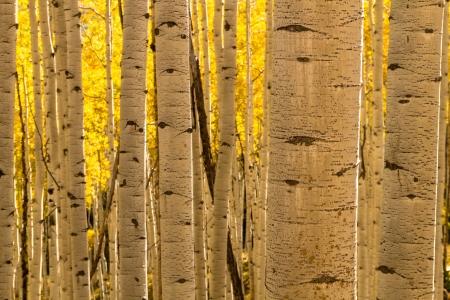 Aspen tree trunks in Aspen forest Stock Photo
