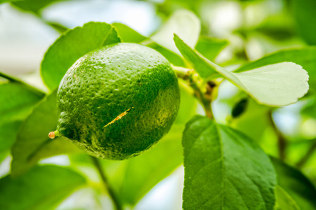 Close up of fresh limes growing on lime tree branch Stok Fotoğraf