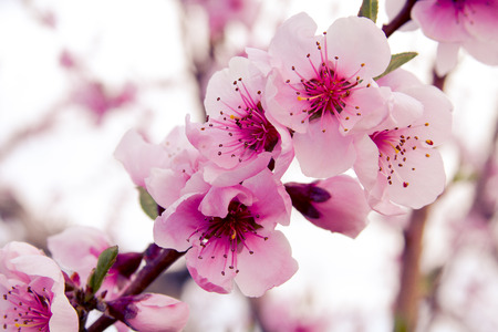 Close up of peach blossoms on tree in peach orchard lit by afternoon sun Stock Photo