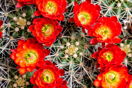 Large blooming barrel cactus with thorns and bright red flowers