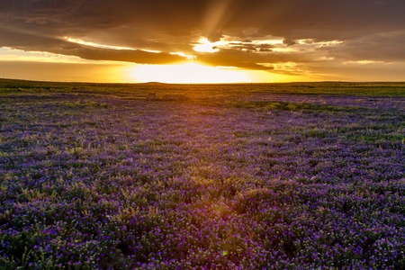 pawnee grassland: Large field of small purple prairie flowers at sunset with dramatic clouds and setting sun Stock Photo