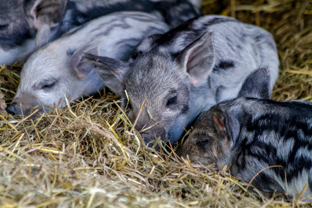 piglets: Group of baby piglets napping in hay on organic farm Stock Photo