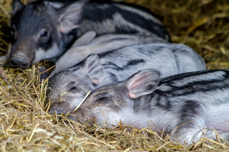 Mangalitsa piglet babies sleeping in hay on organic farm photo