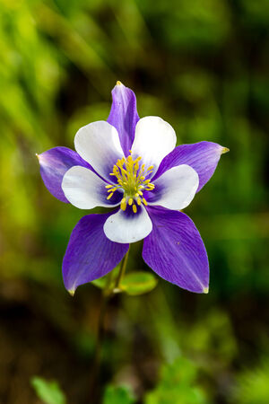 Blue Columbine flower bloom on mountain forest floor photo