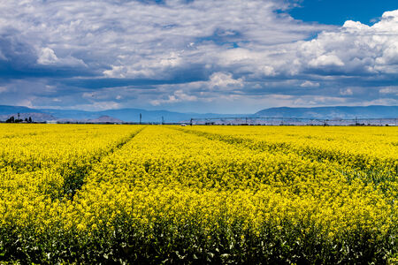 coleseed: Agricultural field of blooming yellow canola seed on sunny summer day