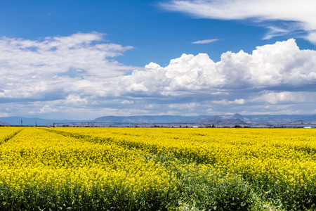 coleseed: Field of rapeseed with beautiful clouds - plant for green energy