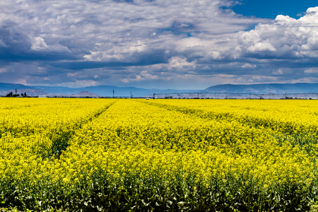 coleseed: Farm field of blooming yellow canola seed on sunny summer day