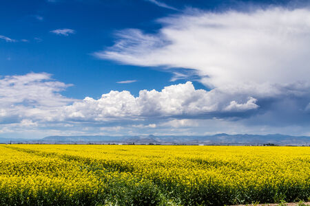coleseed: Farm field of blooming yellow canola seed on sunny summer day with dramatic white clouds
