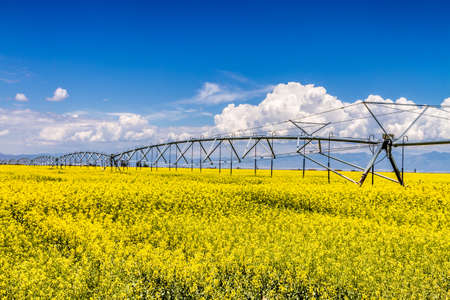 coleseed: Field of rapeseed with beautiful clouds with watering system - plant for green energy