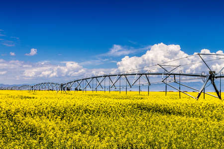 coleseed: Field of canola seed with beautiful clouds with watering system - plant for green energy Stock Photo