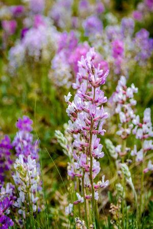 prato montagna: Mazzo di fiori bianchi, viola e rosa che cresce nel prato di montagna Archivio Fotografico