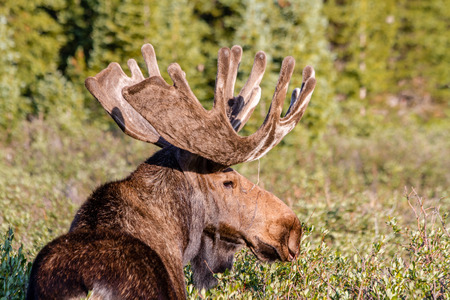 Side view of large male bull moose standing in willows in early morning light photo