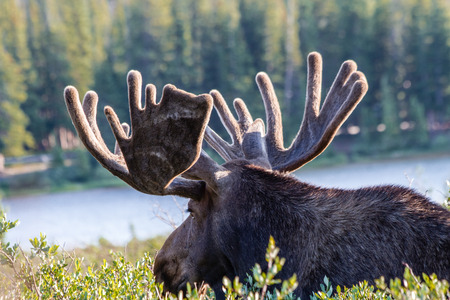 Large male bull moose standing in willows near mountain lake in early morning light photo