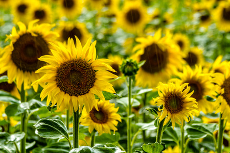Field of many large yellow sunflowers during rain shower with sun shining 版權商用圖片