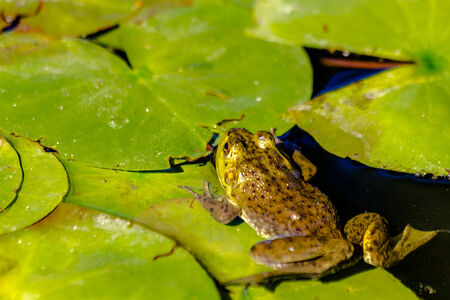 riparian: Small northern green frog sitting on lily pads in fresh water pond on sunny summer morning