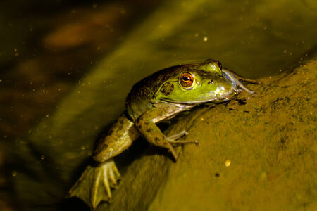 riparian: Northern green frog sitting on moss covered rock in fresh water pond, partially under water