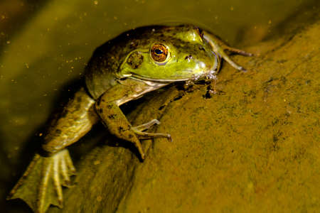 riparian: Close up of northern green frog sitting on moss covered rock in fresh water pond, partially under water