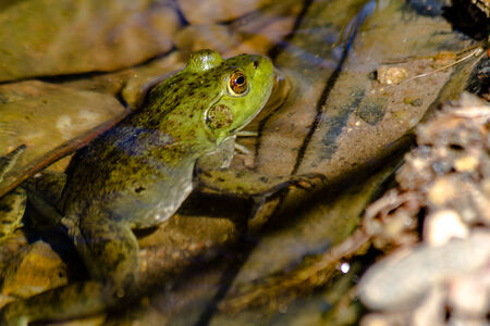 Northern green frog sitting on side of fresh water pond in early morning sunlight