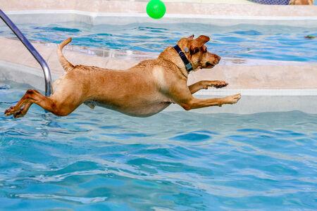 Yellow Labrador Retriever jumping into swimming pool to fetch ball photo