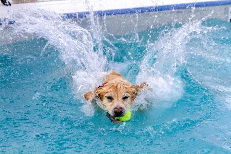입에 테니스 공을 가진 큰 스플래시를 만드는 수영장으로 점프하는 골든 리트리버