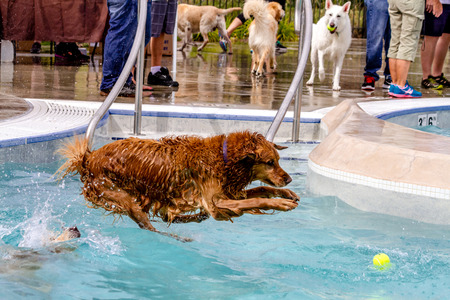 Golden Retriever jumping into swimming pool to fetch tennis ball Stock fotó