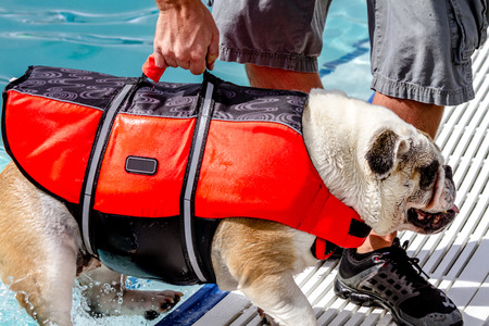 English bulldog climbing out of water at local swimming pool wearing canine life jacket with human assistance