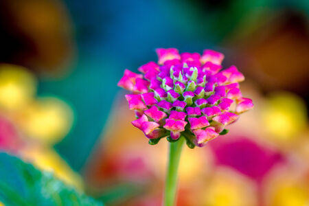 Close up of unopened pink Lantana bud with colorful garden flowers in the background Imagens