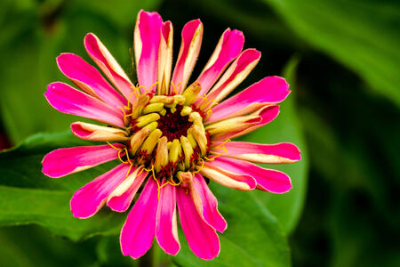 unfold: Close up of an opening pink Zinnia flower bud with petals beginning to unfold Stock Photo