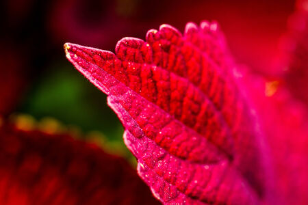 Close up of red coleus leaves in decorative summer garden photo