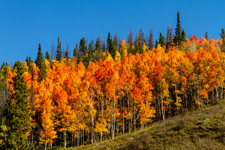 Brightly colored orange and yellow leaves on Aspen trees on mountain slope against bright blue sky
