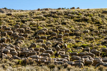 in herding: Basque sheepherder herding large flock of sheep on mountain side filled with sage brush on sunny fall morning